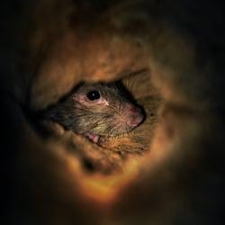 Dupont Circle Rat Sanctuary logo