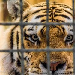 Tiger hinter Gittern, fotografiert von…