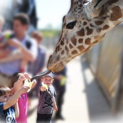Feeding the giraffes at Colchester Zoo