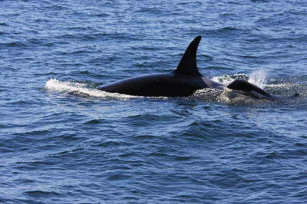Orcas Island Eclipse Charters & Whale Watch Tours - Orca mom & baby - Orcas, WA, Vereinigte Staaten