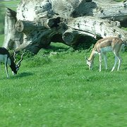 Black buck (you can tell that because…