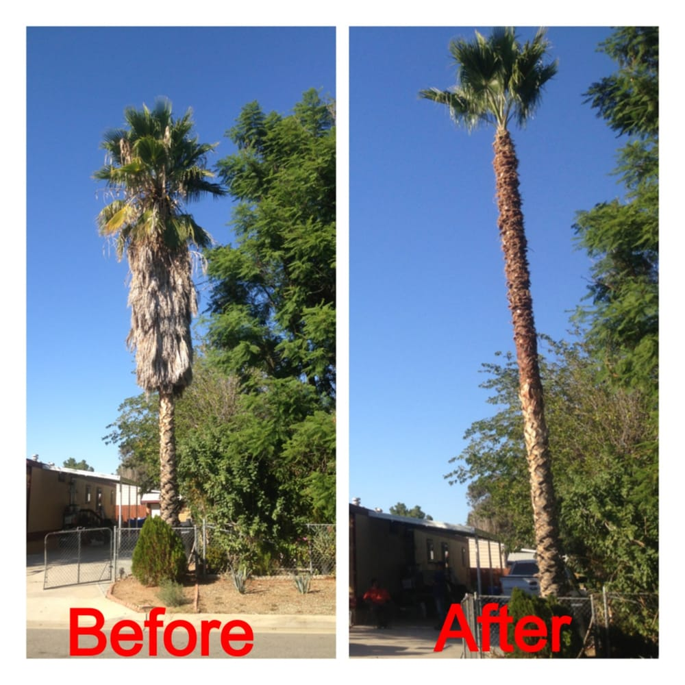 Palm Tree Trimming Before And After Vite 39 s Tree Service Before Amp After Palm Tree Bellflower ca