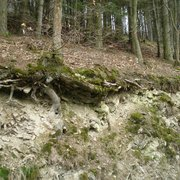 Die Bäume müssen mit wenig Boden…
