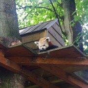 Coucou le panda roux :)