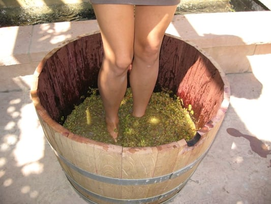 Grgich Hills Estate - stomping them grapes - Rutherford, CA, Vereinigte Staaten