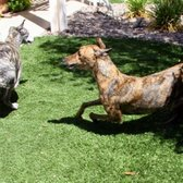 Virtual Lawn - Las Vegas, NV, United States. Turf stands up to speedy greyhounds