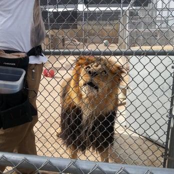 Lion habitat ranch feeding time henderson nv united states