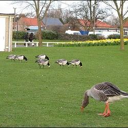 The b****y ducks! (Geese)