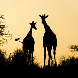 Giraffes by Dominic Lee, Priory Studios,…