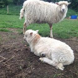 Schafe auf der eingezäunten Weide