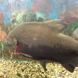 Seoul Gate Restaurant - Fairbanks, AK, États-Unis. They keep a whole bunch of big fish along the tables, fun to watch while you eat!