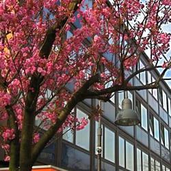 Kirschblüte vor der Praxis