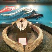 WahlFisch Zähne im zoologischen Museum