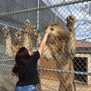 Lion habitat ranch henderson nv united states hungry 2 year old