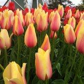 Skagit Valley Tulip Festival - Mount Vernon, WA, United States