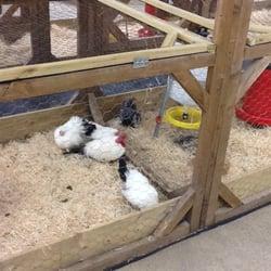 Les poules / Chickens