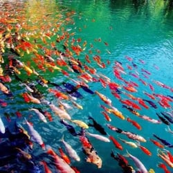 Earl burns miller japanese garden venues event spaces for Koi fish pond csulb