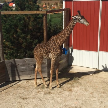 Goebbert 39 S Farm Garden Center South Barrington Il United States One Of Their Two Giraffes