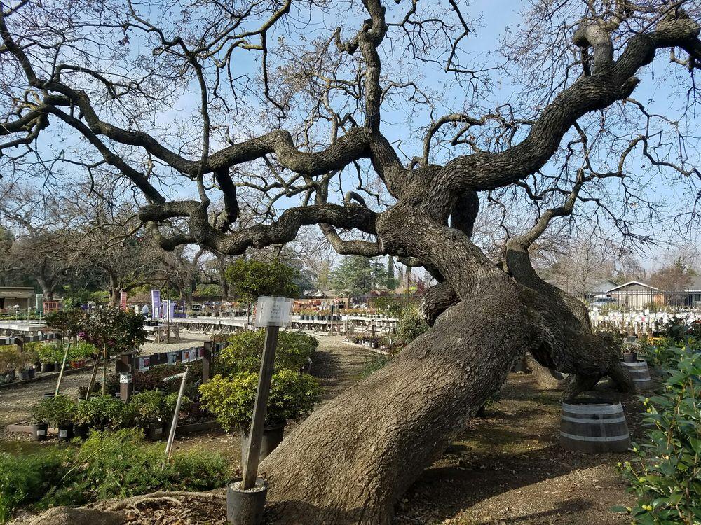 Photo Of Alden Lane Nursery Livermore Ca United States Majestic Oak