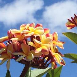 Photo Of The Exotic Plumeria Seffner Fl United States
