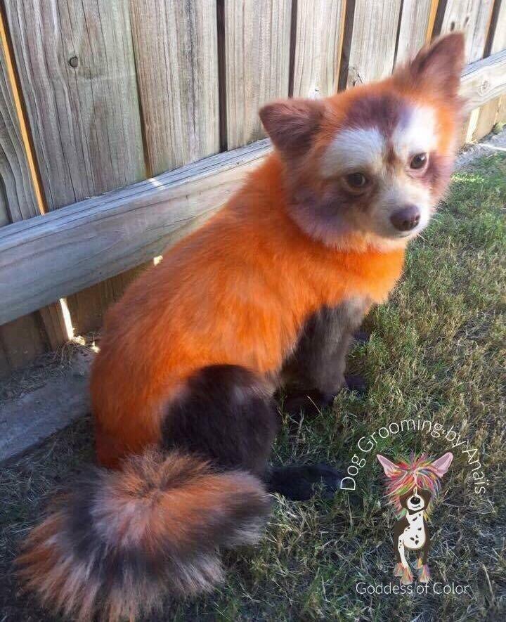 Red panda Pomeranian - Yelp