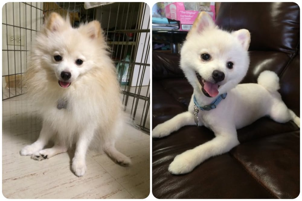 Not Shaved japanese spitz right! good