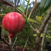 exotica rare fruit nursery is a pumpkin a fruit