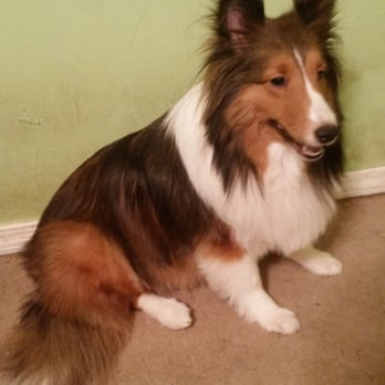 Photo of K&S Pet Grooming - Kingsburg, CA, United States. Sadie the Sheltie