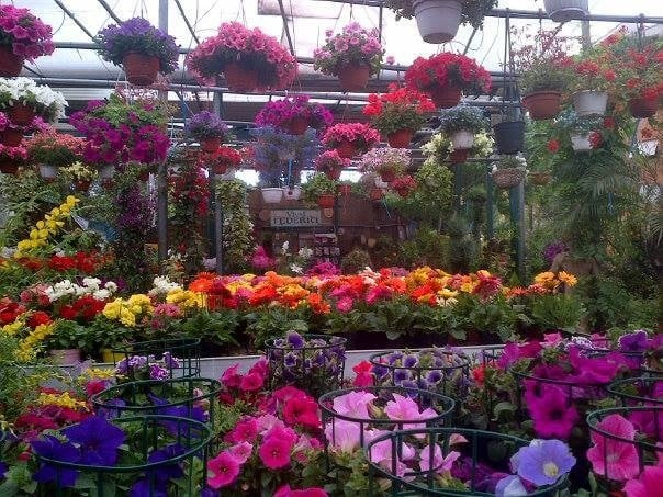 Vivai federici piante da interno sempreverdi rampicanti for Piante rampicanti sempreverdi
