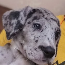 Grant's Gorgeous Great Dane Puppies - Request a Quote - 20