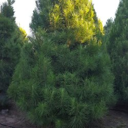 Photo Of Christmas Conifers Bloomington Ca United States
