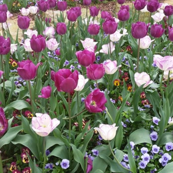 Photo Of Birmingham Botanical Gardens   Birmingham, AL, United States.  Tulips Near The