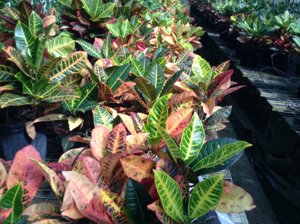 Photo Of Joseph S Nursery Pearland Tx United States Crotons