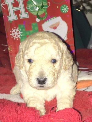 Powderhill Puppies - Pet Breeders - Old Saybrook, CT - Phone