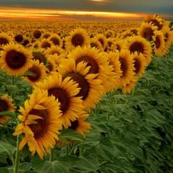 Sunflower massage san carlos