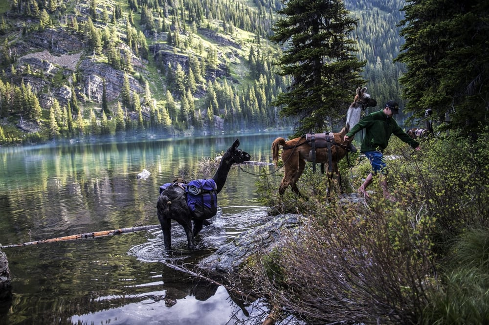 Swan Mountain Llama Trekking: 26356 Soup Creek Rd, Bigfork, MT