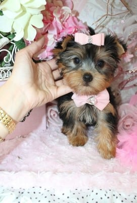 Yorkie Puppies Pet Stores 7 Lambiance Ct Bardonia Ny Phone