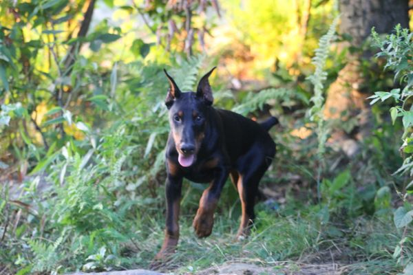 Gray Dobermans - Request a Quote - Pet Breeders - 372 Wade