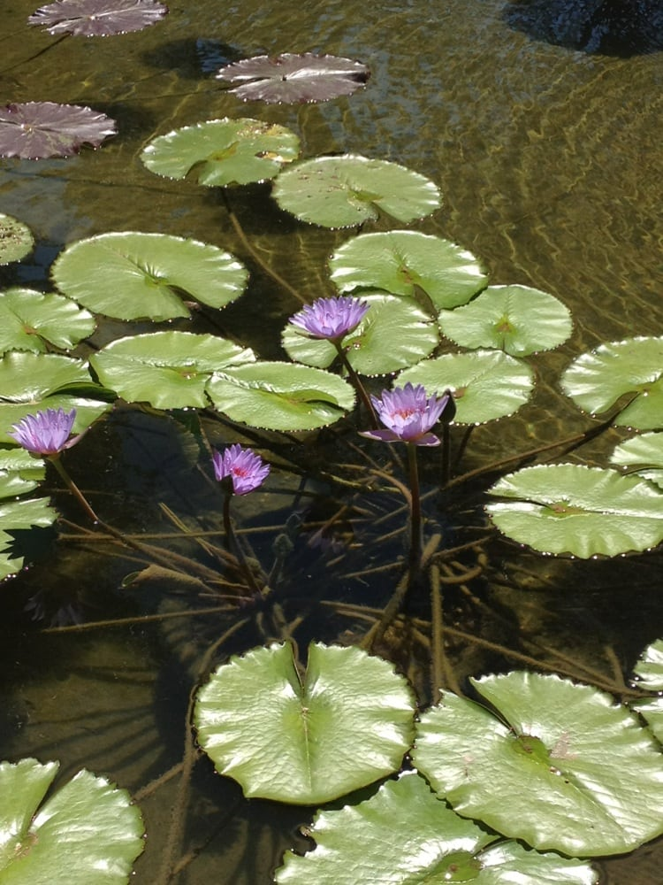 Lovely pond with koi and little fish, lots of different Lilly pads ...