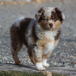 Dd Mini Toy Aussies Request A Quote 16 Photos Pet Breeders