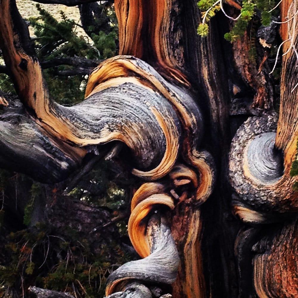Ancient Bristlecone Pine Forest 50 Photos Parks