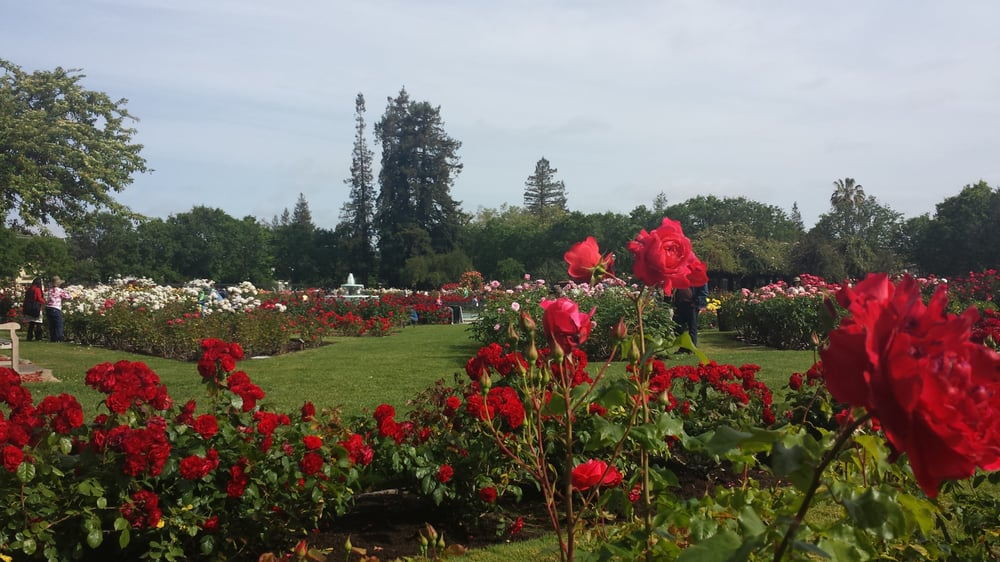 Roses In Garden: Photos For San Jose Municipal Rose Garden