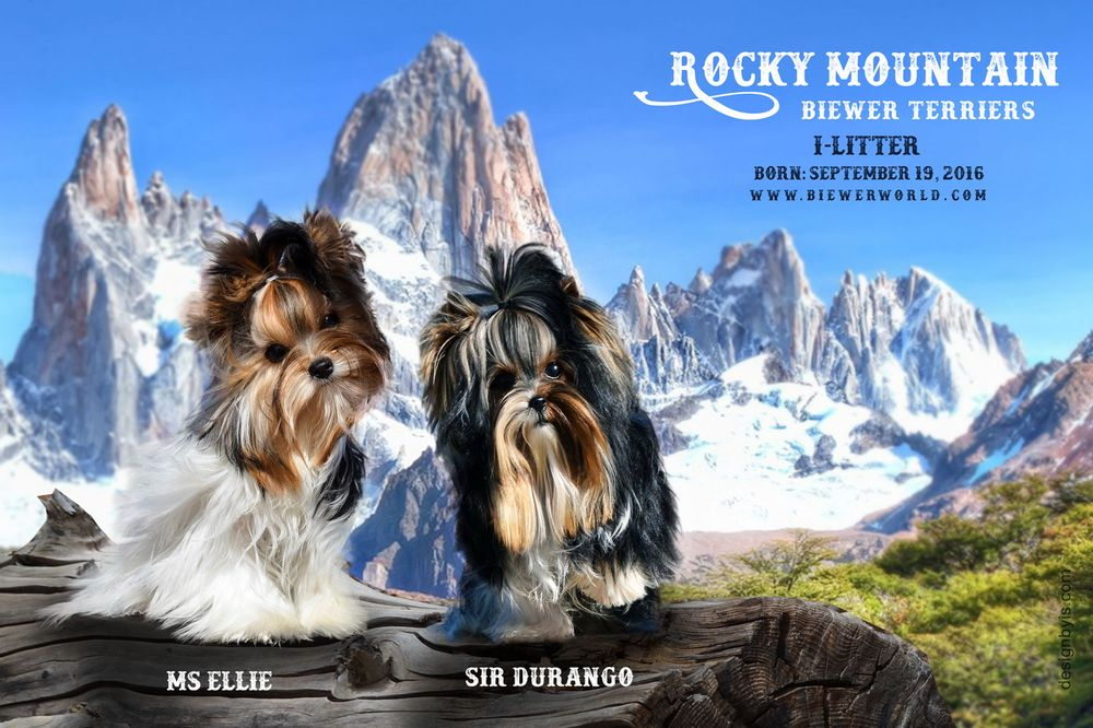 Rocky Mountain Biewer Terriers: 30705 Rd V6, Dolores, CO