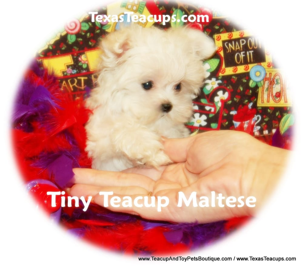Tiny Teacup Maltese Puppies For Sale Yelp