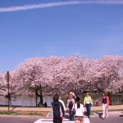 National Cherry Blossom Festival logo