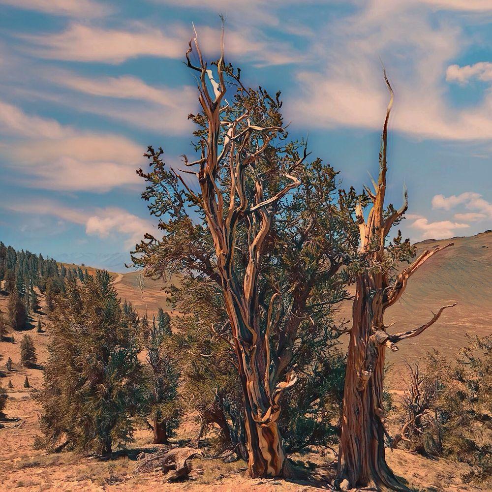 Ancient Bristlecone Pine Forest 305 Photos Amp 70 Reviews