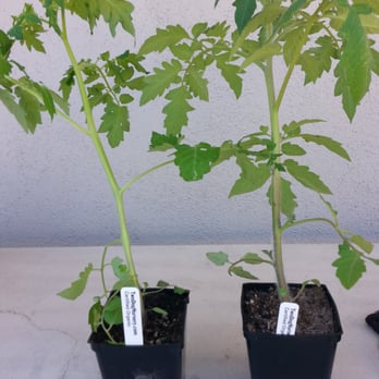 Photo Of Two Dog Organic Nursery Los Angeles Ca United States Tomatoes