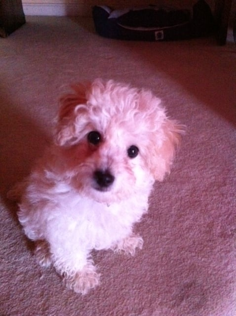 Kyle & Juli foster dogs and support Bichon Frise Rescue