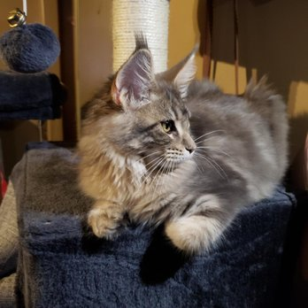 Mainesuspect Maine Coons - 23 Photos - Pet Breeders - East Hollywood
