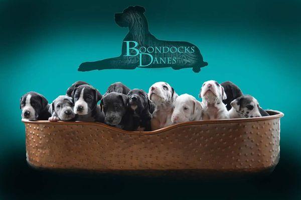 Boondocks Danes - Request a Quote - Pet Breeders
